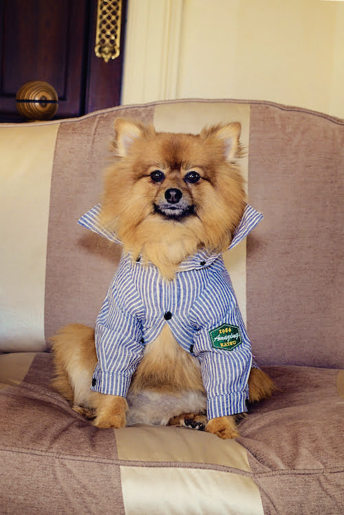 Mr Hendrix, the Pomeranian puppy who inspired a childrens' book series looking dapper in a cute shirt!