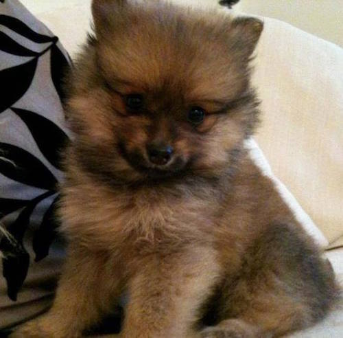 Mr Hendrix, the Pomeranian puppy who inspired a childrens' book series.