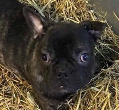 A Puppy Farmed French Bulldog who was abandoned on Gumtree.
