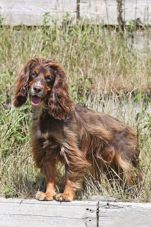 Maggie the cocker spaniel who lost her life to Alabama Rot