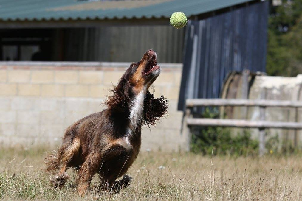 Maggie the Cocker Spaniel sadly died after getting Alabama Rot.