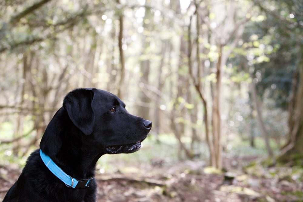 Adorable Labrador Bertie who changed Katie Tovey-Grindlay's life and inspired her to set up Woof Woof Network.