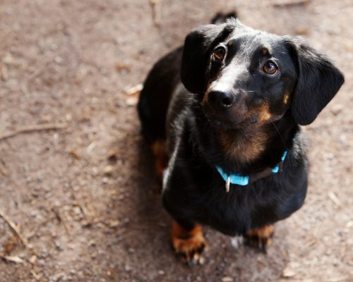 Katie always wanted a sausage dog and adopted Toby at 18 months after launching her pet business.