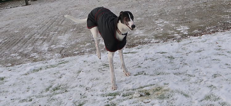 Maddie is one of the dogs looking for a home this Christmas from Cheshire Dog's Home.