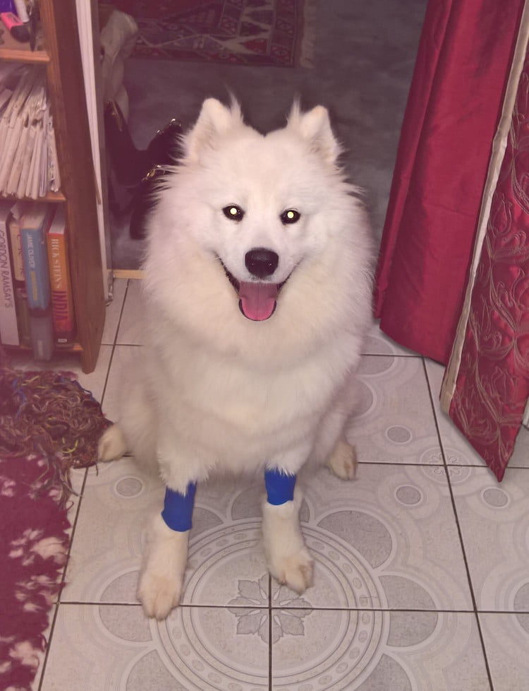Mischa the Samoyed pup had a lucky escape after biting into a bottle of antifreeze