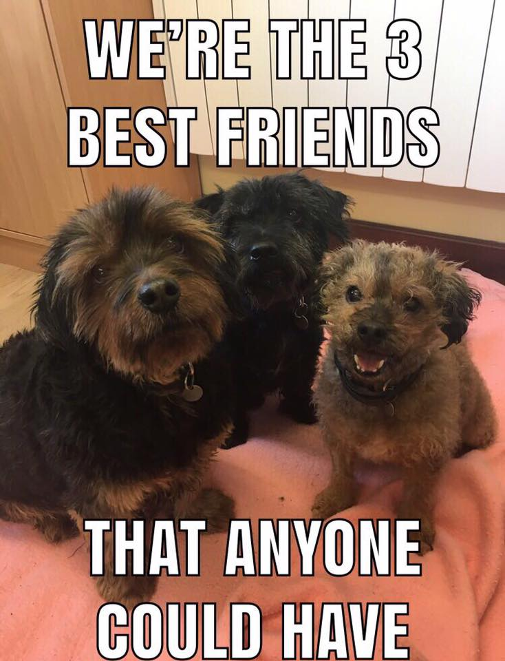 The RSPCA is trying to find a home for these three elderly terriers, can you help?