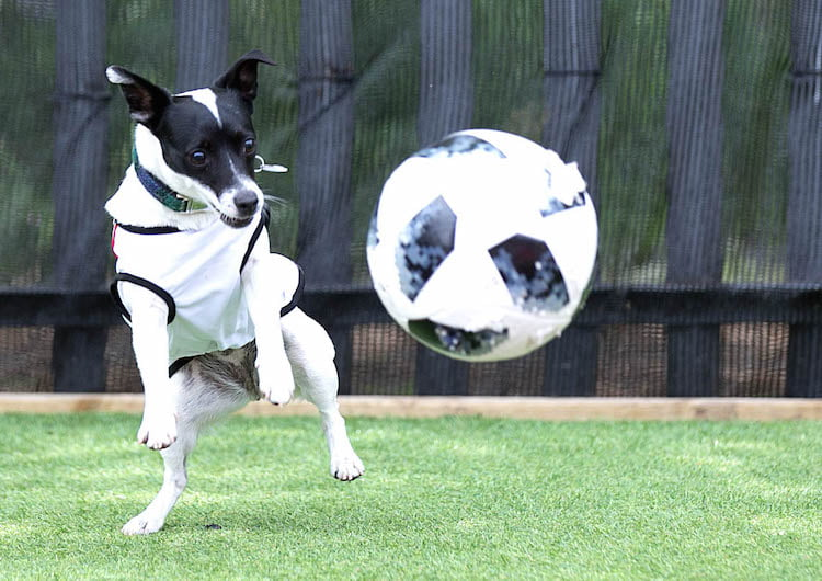 World cup dogs - 55 per cent of owners are watching the game with their pets and Dogs Trust have shared the best ways to stop them feeling stressed!