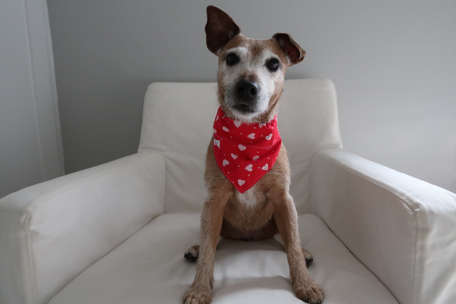 Dog wearing Valentine's Day dog bandana