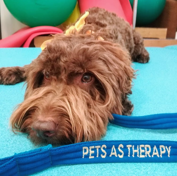 Rolo the Pets as Therapy dog