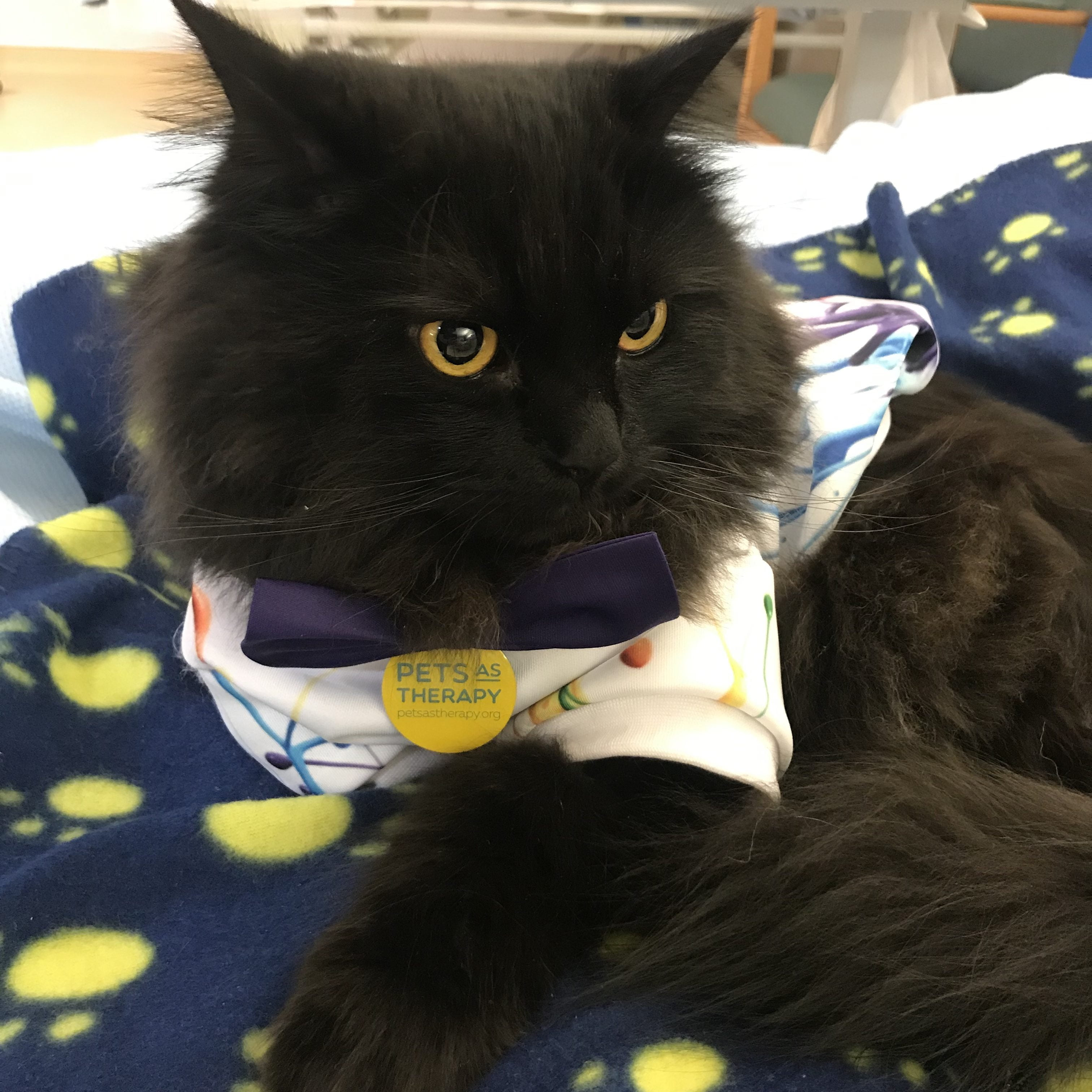 Pets as Therapy Cat London on his blanket