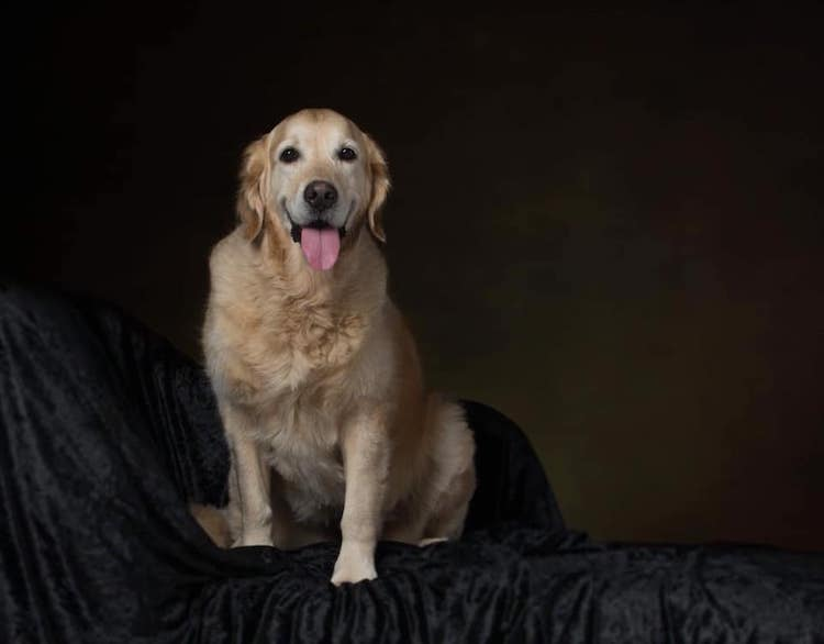 Missing Golden Retriever Polly
