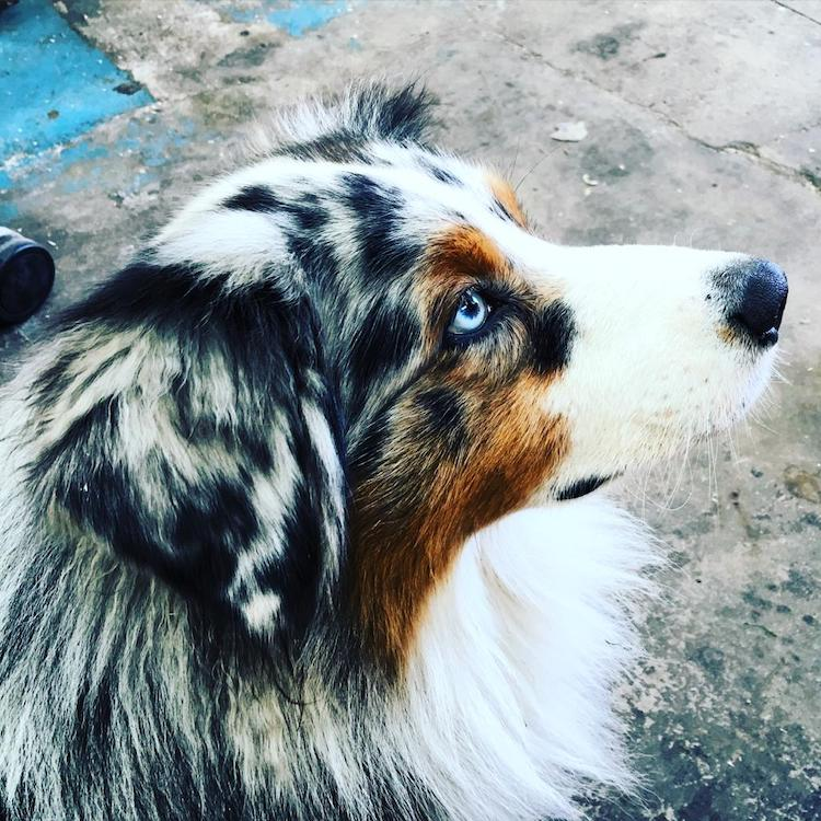 Missing Australian Shepherd Eddie
