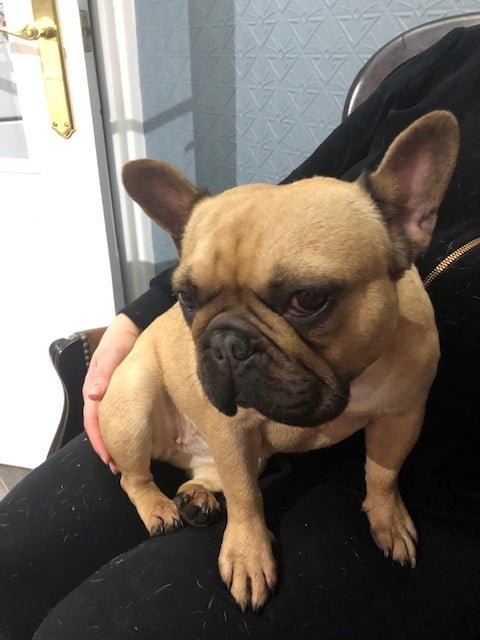 Missing French Bulldog Penny