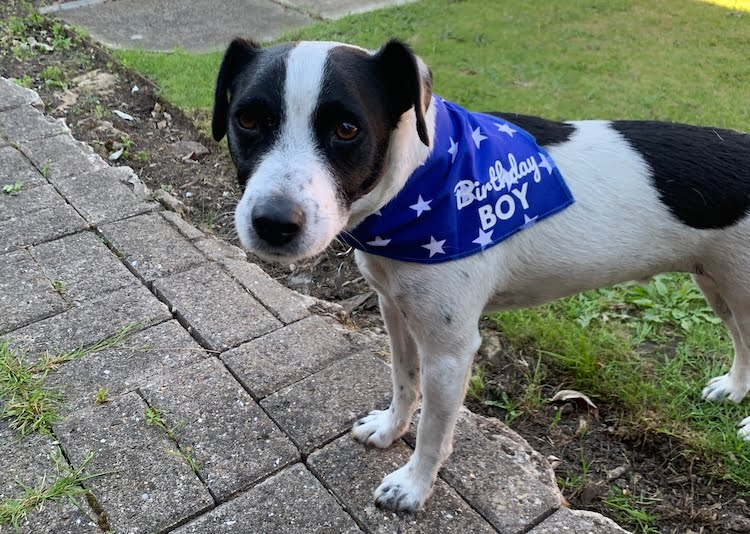 Dog in birthday boy bandana