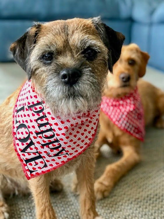 Dogs in Valentines Bandanas